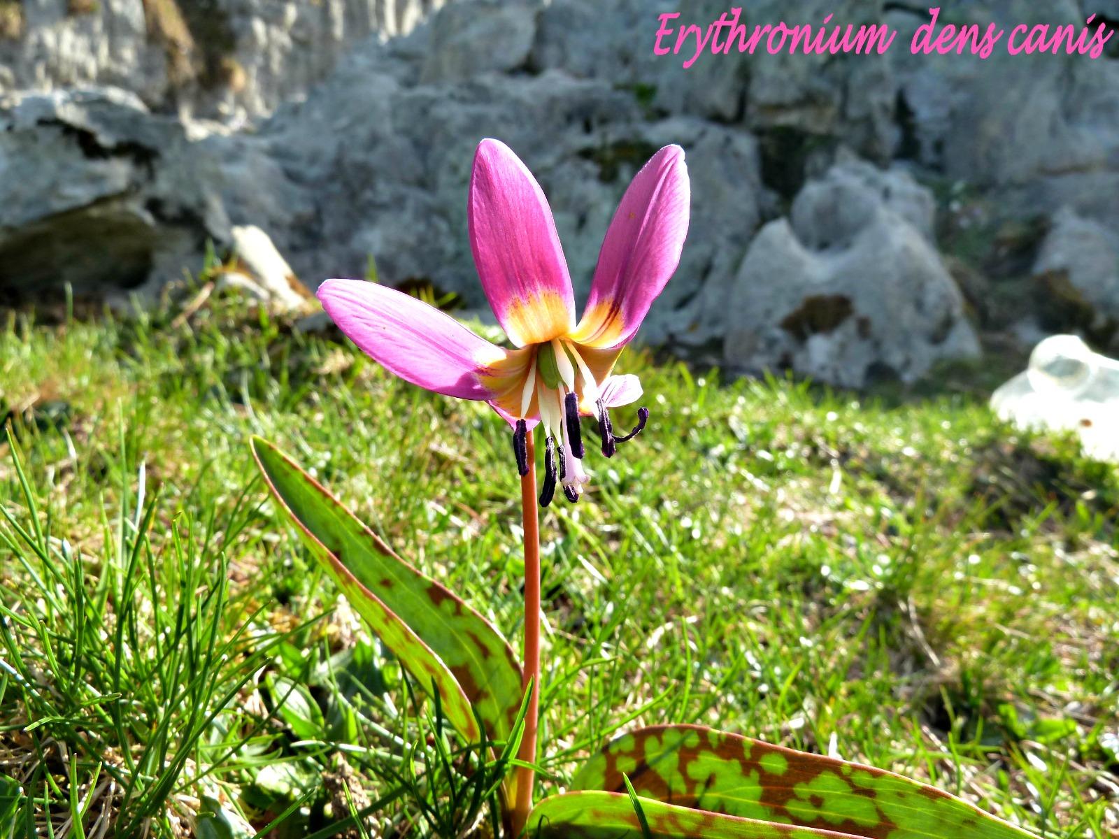 Sentier botanique  Erythronium © Martine Boyé