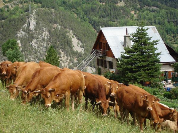 les vaches de bramousse ©